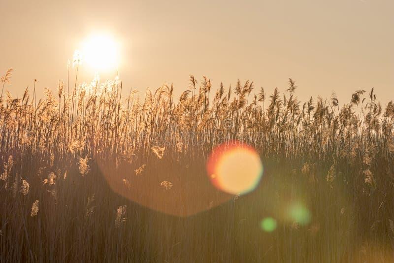 Schilfe bei Sonnenuntergang Schöner Sonnenuntergang mit einem Schilf lizenzfreie stockfotografie