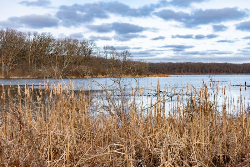Schilfe durch einen Teich in einem Wald während des Winters in Vorstadt-Willow Springs Illinois lizenzfreies stockbild