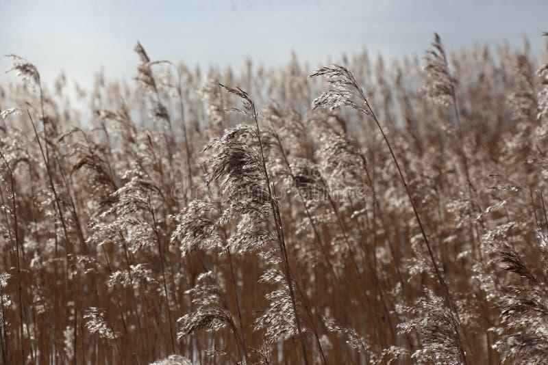 Schilfe im langen Gras stockfotos