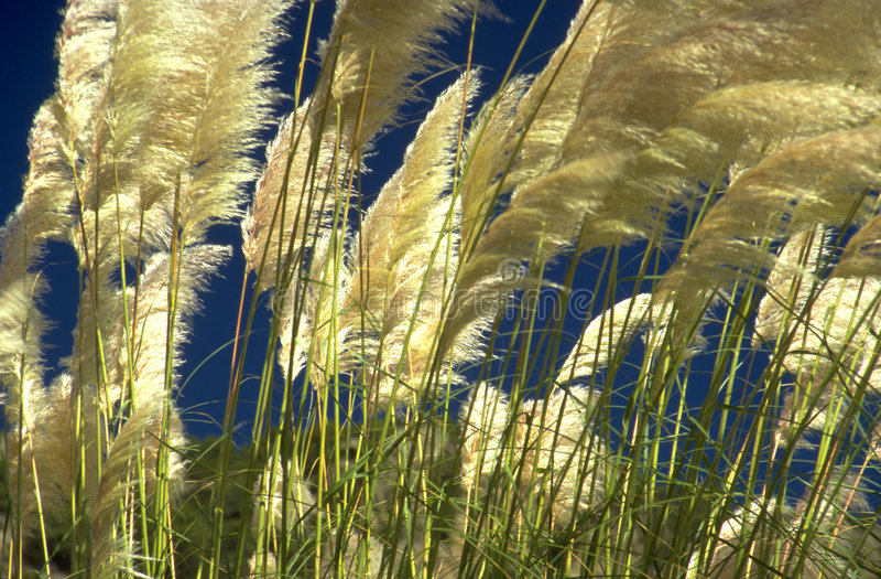 Schilfe im Wind lizenzfreie stockfotos