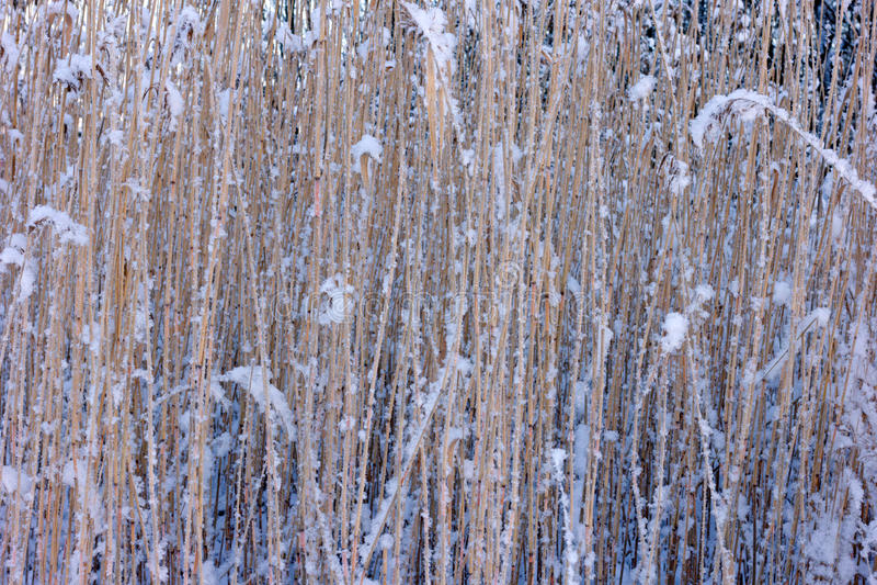 Schilfe im Winter stockfoto