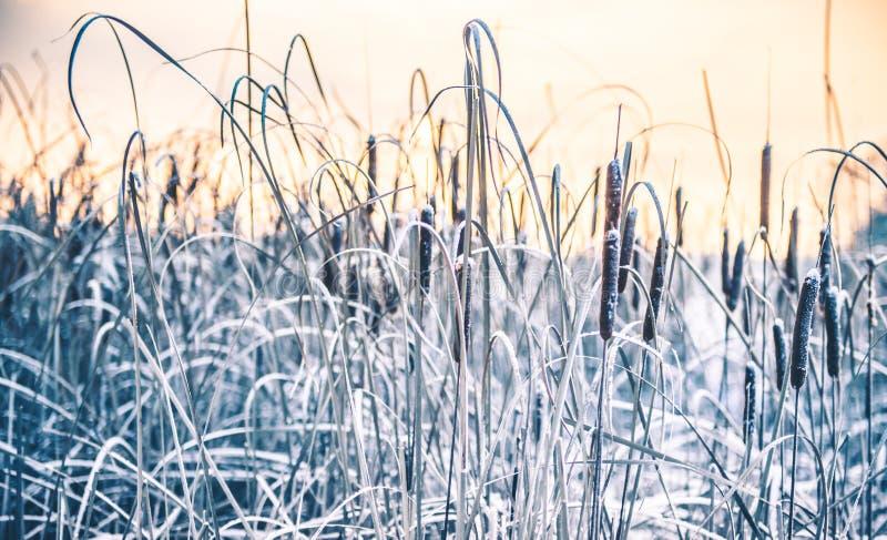 Schilfe im Winterfrost und -see stockfoto