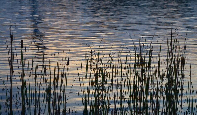 Schilfe pflanzen auf dem See mit Wasserreflexion lizenzfreie stockbilder