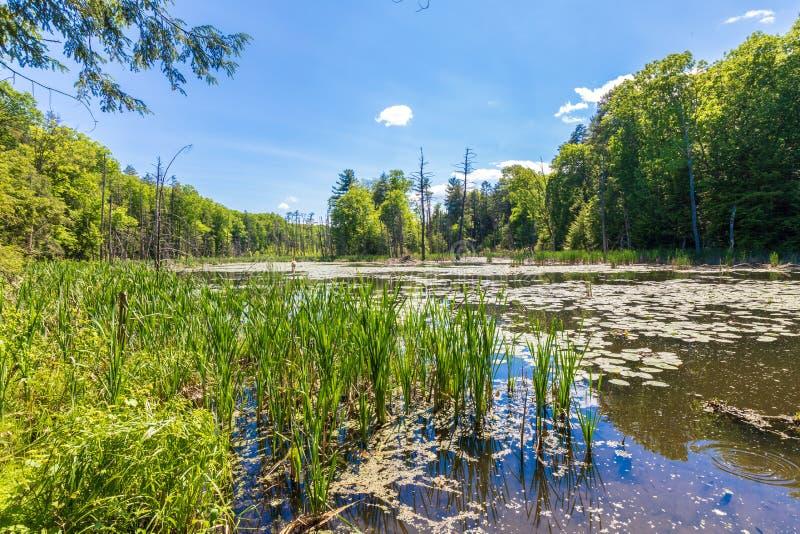 Schilfe wachsen in einem Teich, der durch Bäume umgeben wird lizenzfreie stockfotos