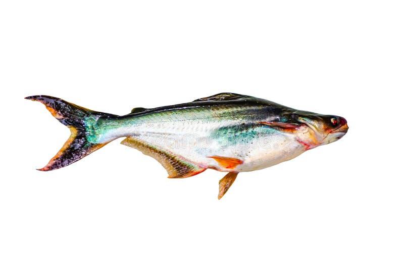 Schillernde Haifischfische lokalisiert auf weißem Hintergrund lizenzfreie stockfotografie