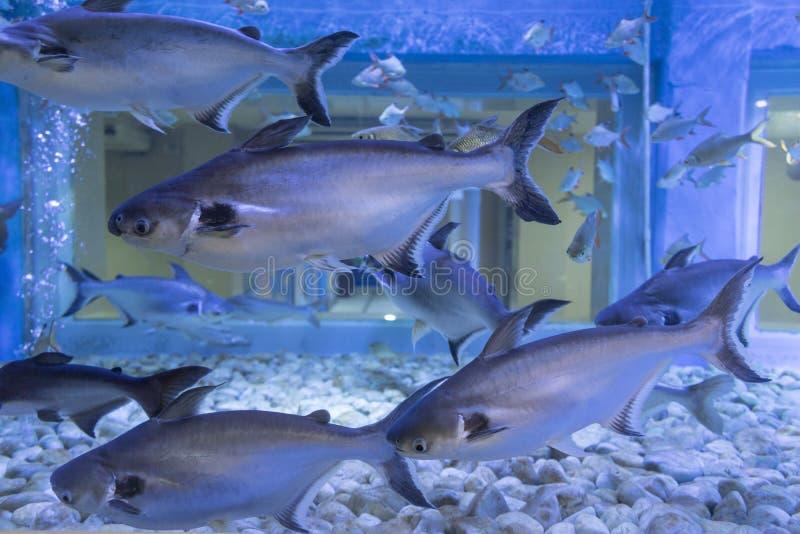 Schillernder Haifisch, gestreifter Wels im Aquarium stockbild