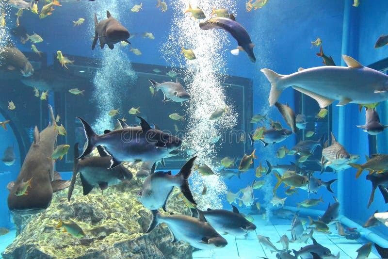 schillernder Haifisch, riesiger sutchi des Mekongs Wels lizenzfreie stockbilder