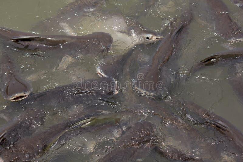 Schillernder Haifisch in vielen Flüssen stockbilder