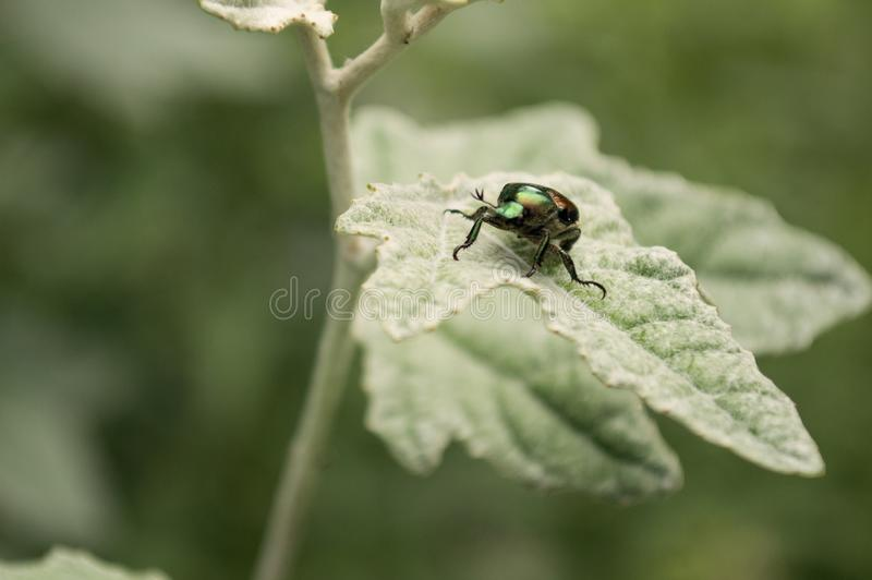 Schillernder Käfer auf grünem Blatt stockfotografie