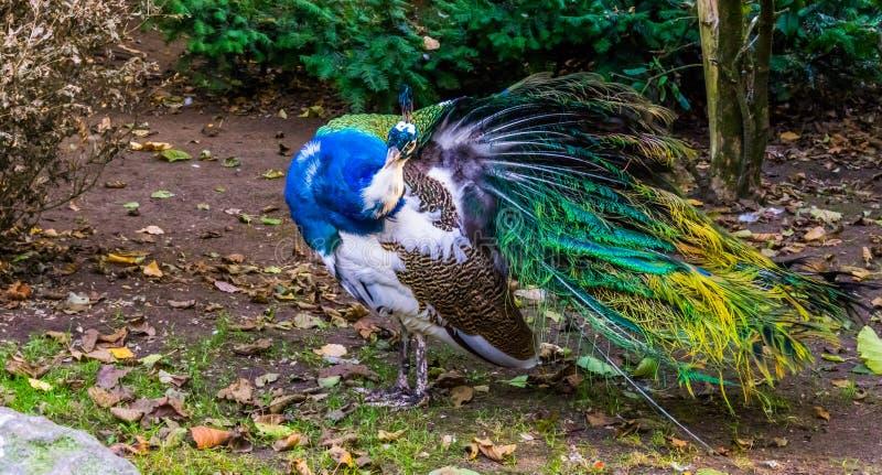 Schillernder Pfau, der seinen Flügel für das Putzen ausbreitet und herein in der Kamera, Farbe und Pigmentveränderung, populären  stockfotografie