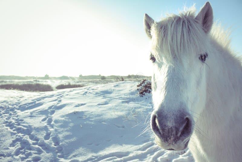Schimmel im Schnee, der in der Kamera schaut stockfotos