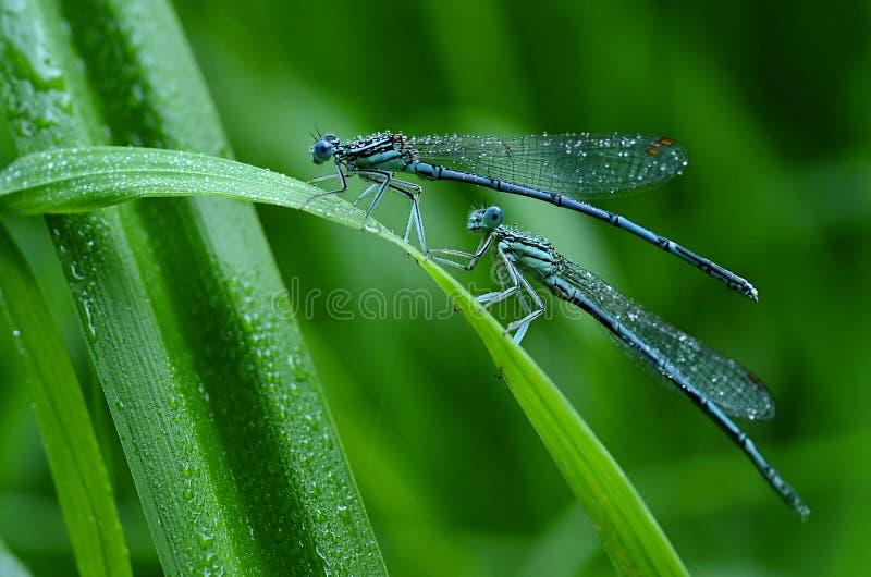 Schimmernde Libellen lizenzfreie stockbilder