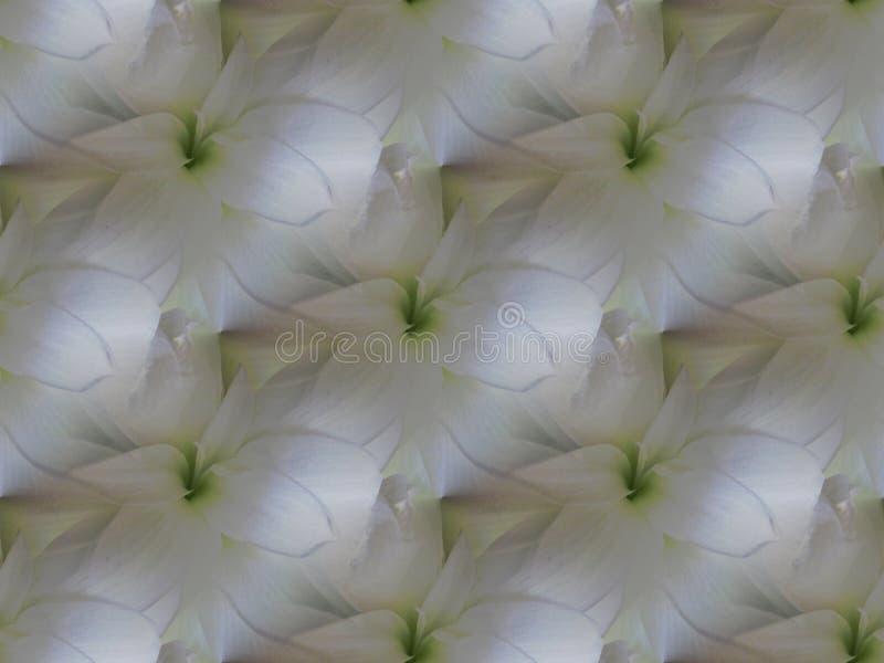 Schimmernde weiße Amaryllis blüht mit hellgrünem diagonal wiederholen lizenzfreie abbildung