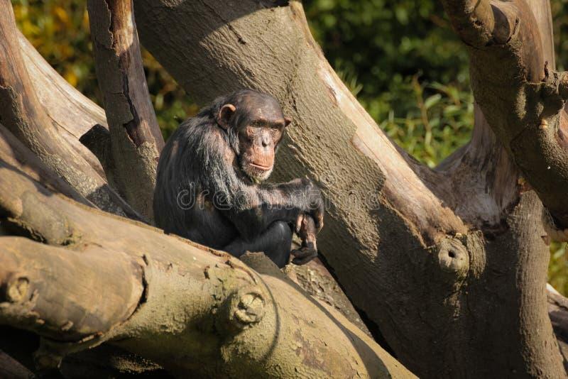 schimpans Dublin zoo ireland arkivbild