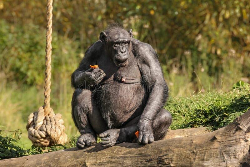 schimpans Dublin zoo ireland royaltyfri fotografi