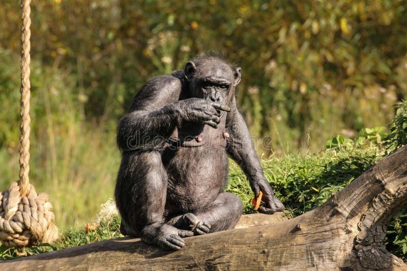 schimpans Dublin zoo ireland fotografering för bildbyråer