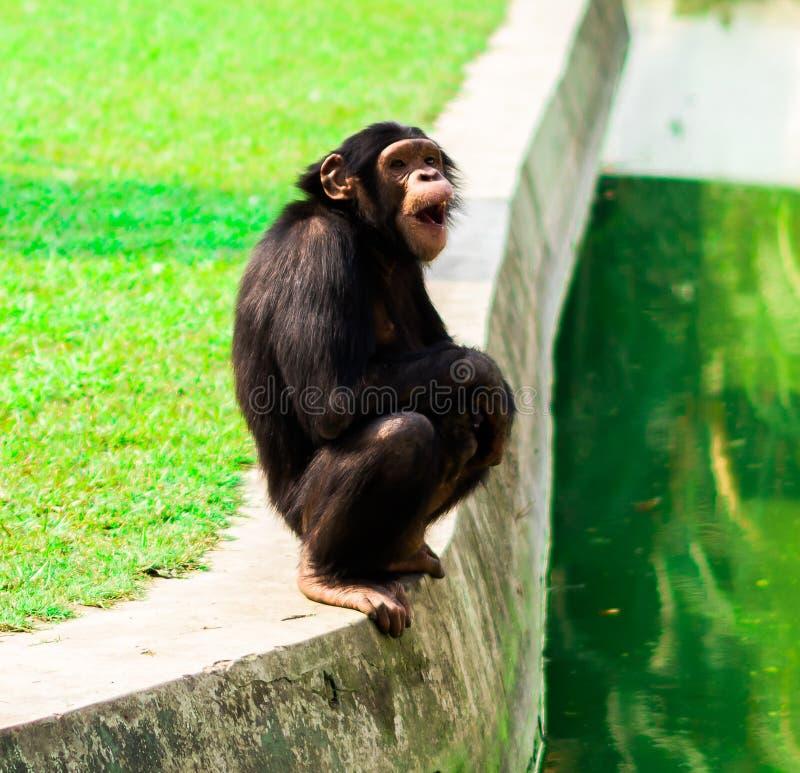 Schimpans i aliporezookolkataen Indien arkivbild