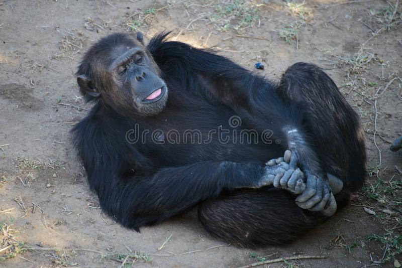 Schimpans i naturvården royaltyfri fotografi