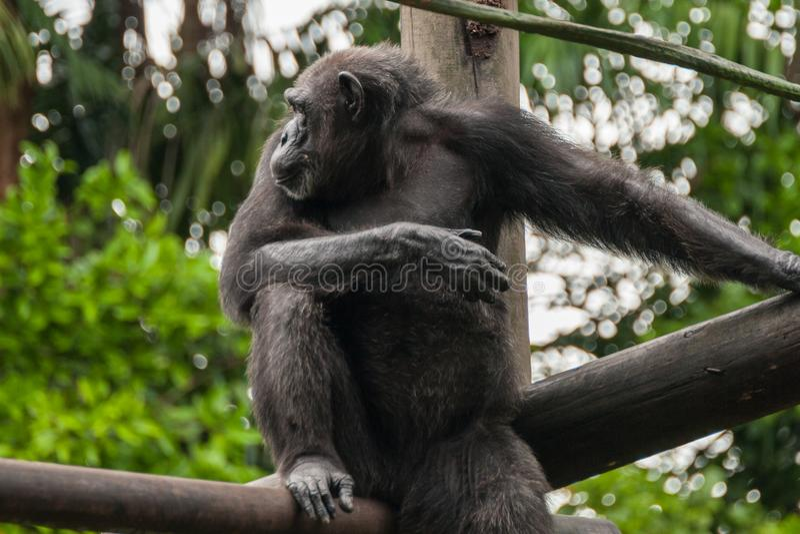 Schimpans i zoo royaltyfri fotografi