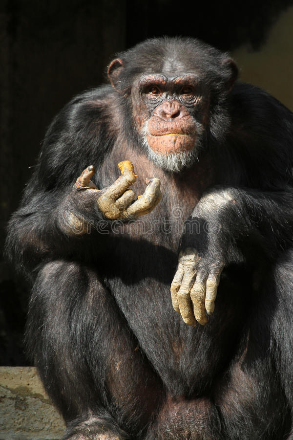 Schimpanse lizenzfreies stockfoto