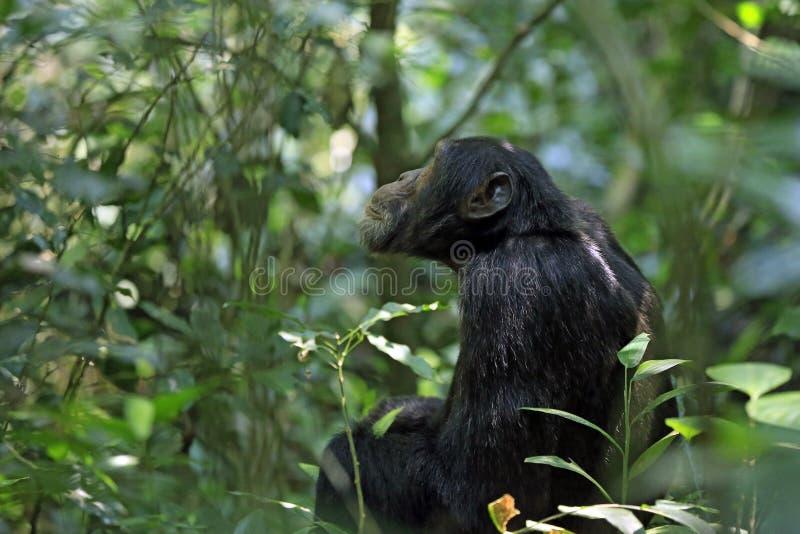 Schimpanse in Bush lizenzfreie stockbilder