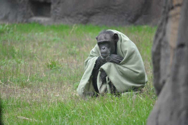 Schimpanse in einer Decke lizenzfreie stockfotos