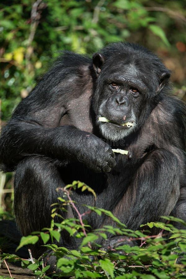 Schimpanse-Essen stockfoto