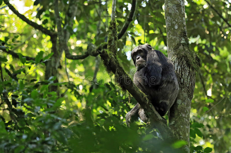 Schimpanse im Baum lizenzfreie stockfotografie