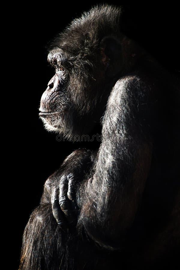 Schimpanse-Leuchte u. Schatten stockfotografie