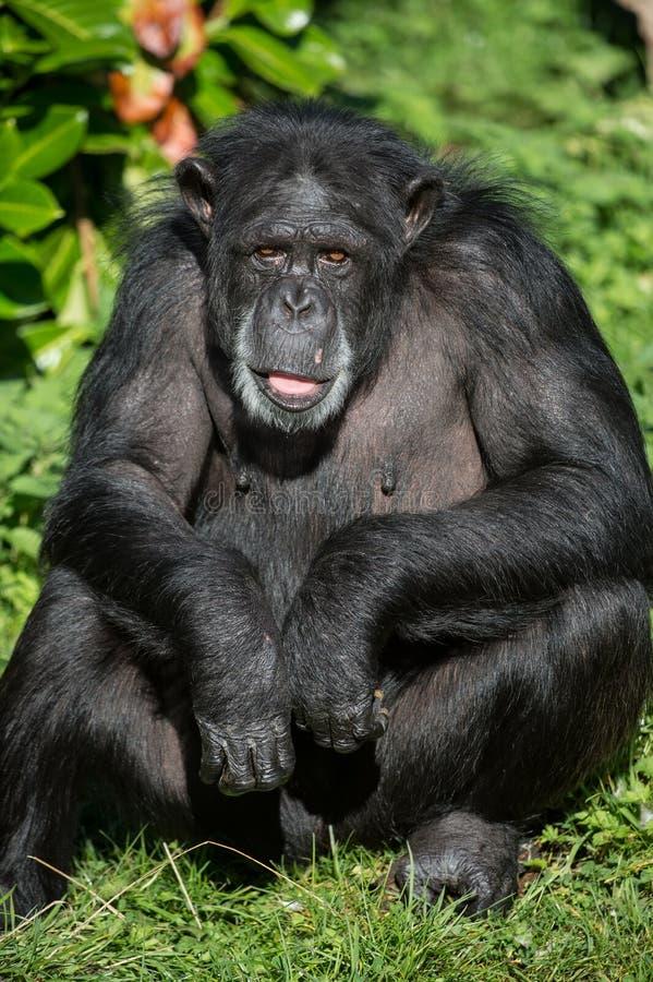 Schimpanse-Portrait lizenzfreies stockfoto