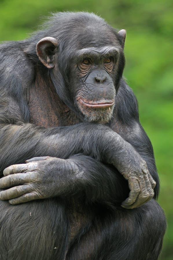 Schimpanse-Portrait stockbilder