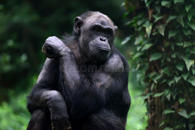 schimpansen lizenzfreies stockbild
