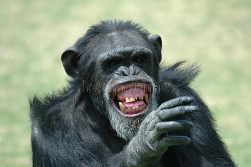 schimpansen blidkar arkivbild