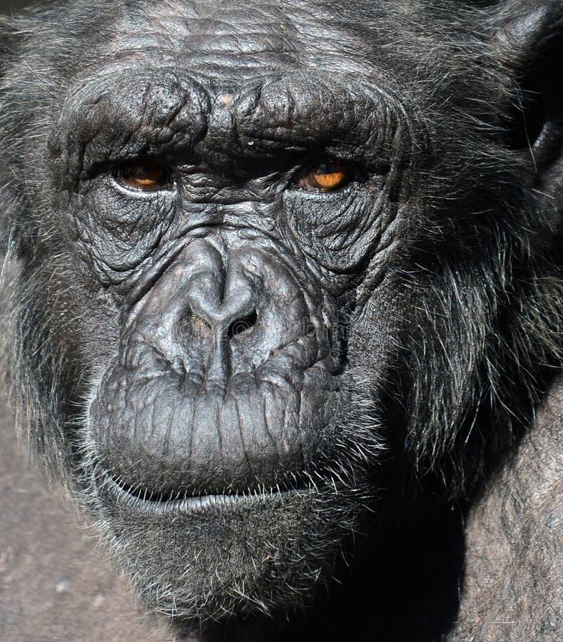 Schimpanseportr?t stockbilder