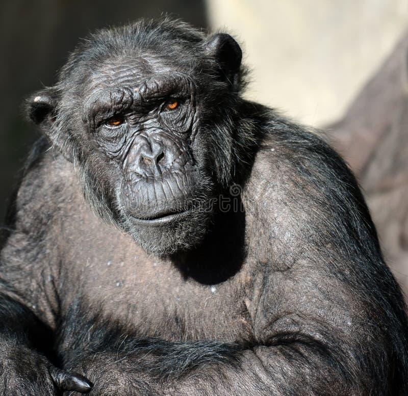 Schimpanseportr?t lizenzfreie stockbilder