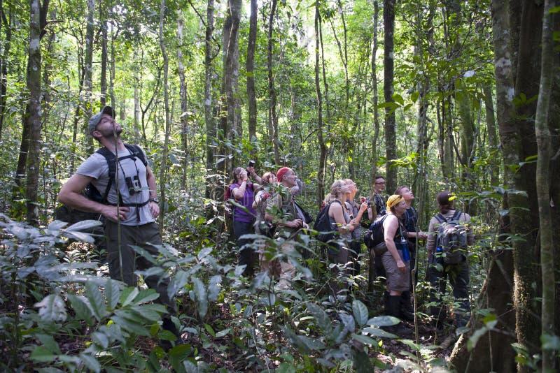 Schimpanser som trekking i Uganda arkivfoton