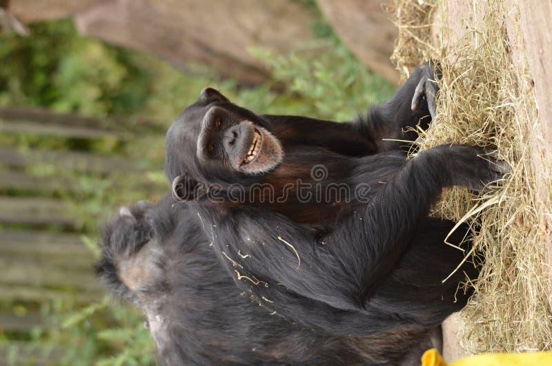 schimpansleende royaltyfri bild