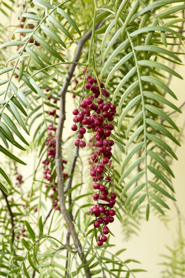 Schinus molle, pink pepper fruits on tree branches stock image