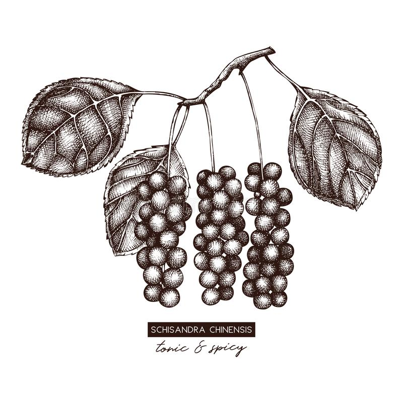 Botanical illustration of Schisandra plant with berries. Vector hand drawn sketch of Chinese magnolia - traditional herbs. Tonic e. Lements collection royalty free illustration
