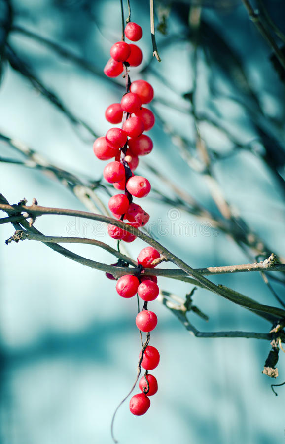 Berries Of Far East Stock Image Image Of Ripe Nature