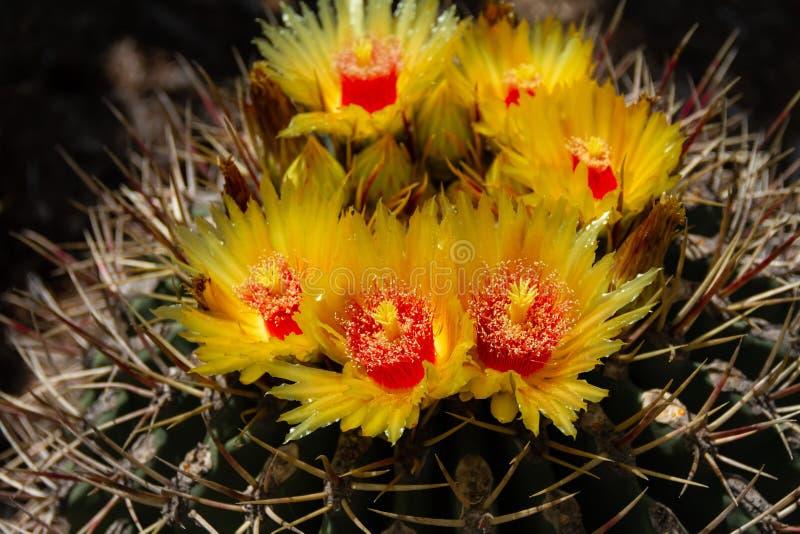 Schitterend close-up van het gouping van bloemen op een de Cactus of het vatcactus van Ferocactus Histrix royalty-vrije stock fotografie