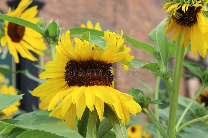 Schitterend en uniek beeld van verscheidene zonnebloemen, twee die eruit zien alsof zij koesteren royalty-vrije stock fotografie