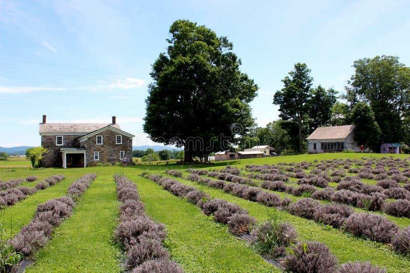 Schitterend gebied met lavendel die niet de zware regens, Lavenlair-Landbouwbedrijf, Whitehall, New York, 2019 overleefde royalty-vrije stock fotografie