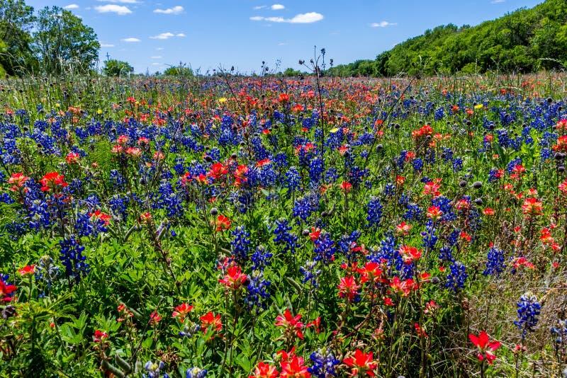Schitterend Texas Meadow Full van Bluebonnets en Indisch Penseel Wildflowers. royalty-vrije stock afbeeldingen