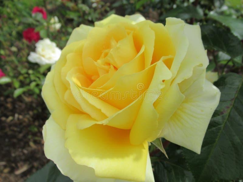 Schitterende Aantrekkelijke Gele Rose Flowers Blossom In The Rose Garden royalty-vrije stock fotografie
