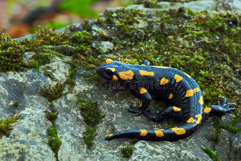 Schitterende Brandsalamander, Salamandra-salamandra, bevlekte amfibie op de grijze steen met groen mos stock afbeelding