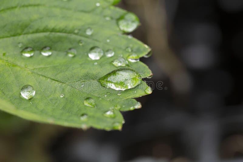 Schitterende dichte omhooggaande macromening van groen aardbeiblad met regendruppels Mooie groene natutreachtergronden royalty-vrije stock afbeelding