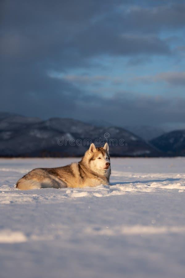 Schitterende en prideful Siberische schor hond die in het sneeuwgebied liggen in de winter stock foto's