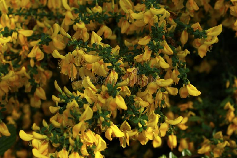 Schitterende Gele Gaspeldoornbloesem royalty-vrije stock afbeelding