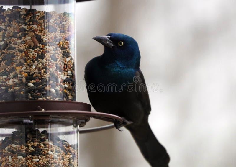 Schitterende Gemeenschappelijke grackle kleurrijke vogel die zaden van een voeder van het vogelzaad eten tijdens de zomer in Mich royalty-vrije stock foto's